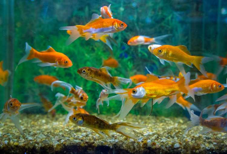 To know the benefits of keeping fish aquarium at home