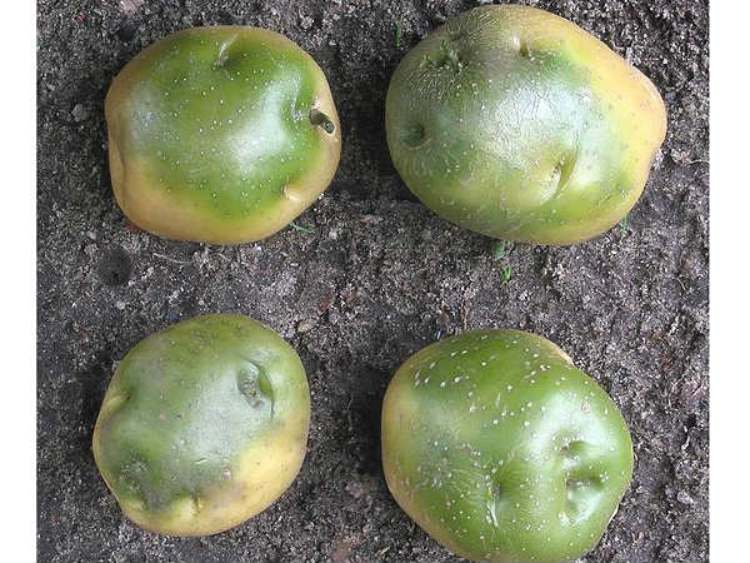 Green potatoes are harmful for health, it might cause death
