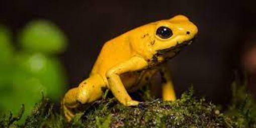 golden frog deadly