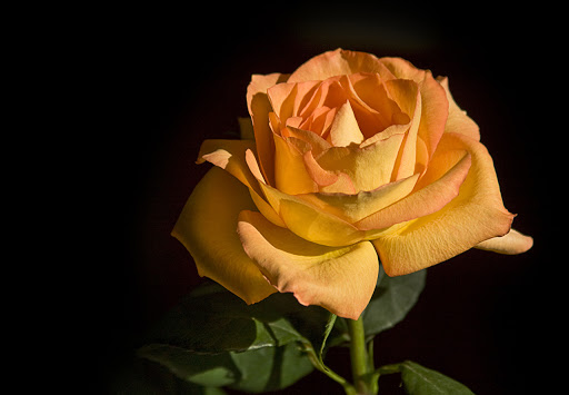 Orange Rose Rose Day Tips