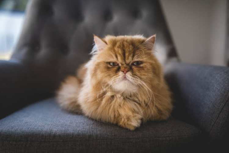 Persian cat is a best pet for working person