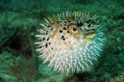 puffer fish or blofish