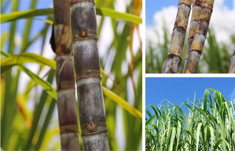 Sugarcane juice is helpful in stone