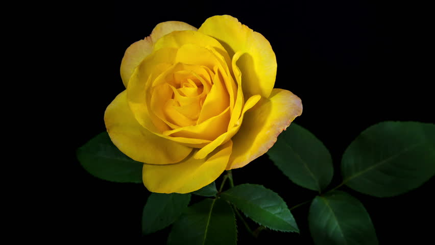 Yellow Rose rose Day