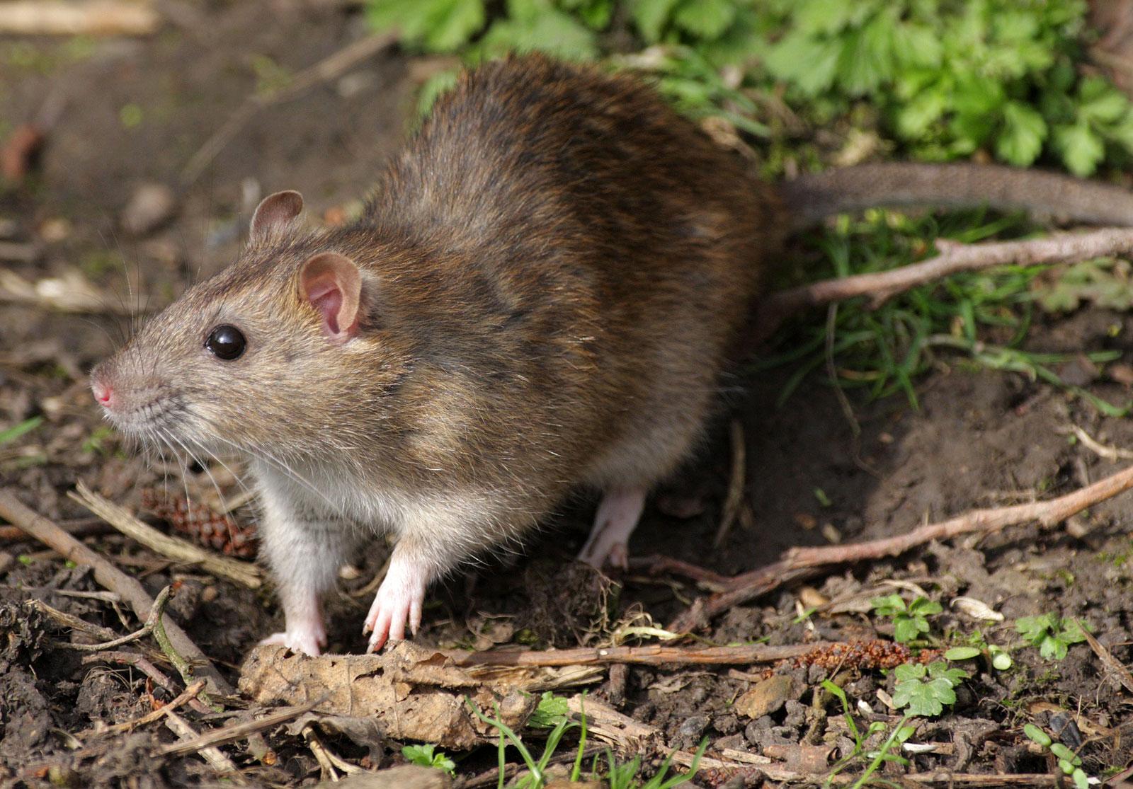 Facts About Rat In Hindi, चूहें के बारे में रोचक तथ्य
