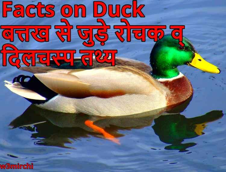 Facts on Duck, बत्तख से जुड़े रोचक व् दिलचस्प तथ्य
