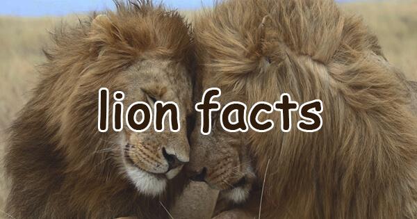 Facts on lion, शेर से जुड़े रोचक तथ्य