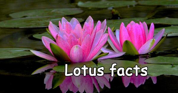 Facts on lotus, कमल के फूल के बारे में रोचक तथ्य |