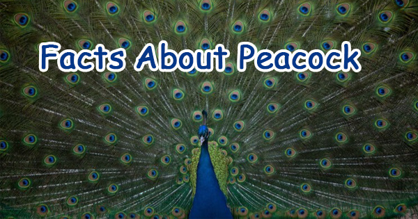 Facts on peacock, मोर पर तथ्य