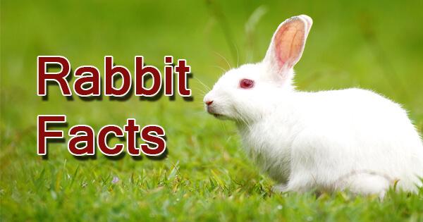 Facts on rabbit, खरगोश पर तथ्य