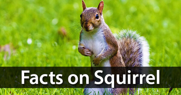 Facts on Squirrel, गिलहरी पर तथ्य