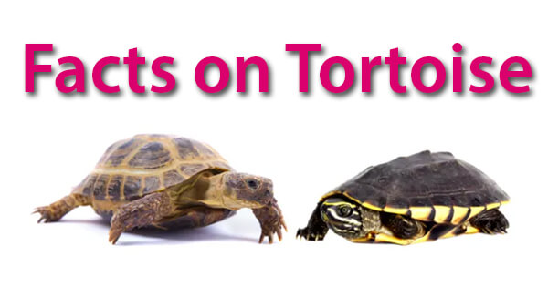 Facts on Tortoises, कछुआ पर तथ्य